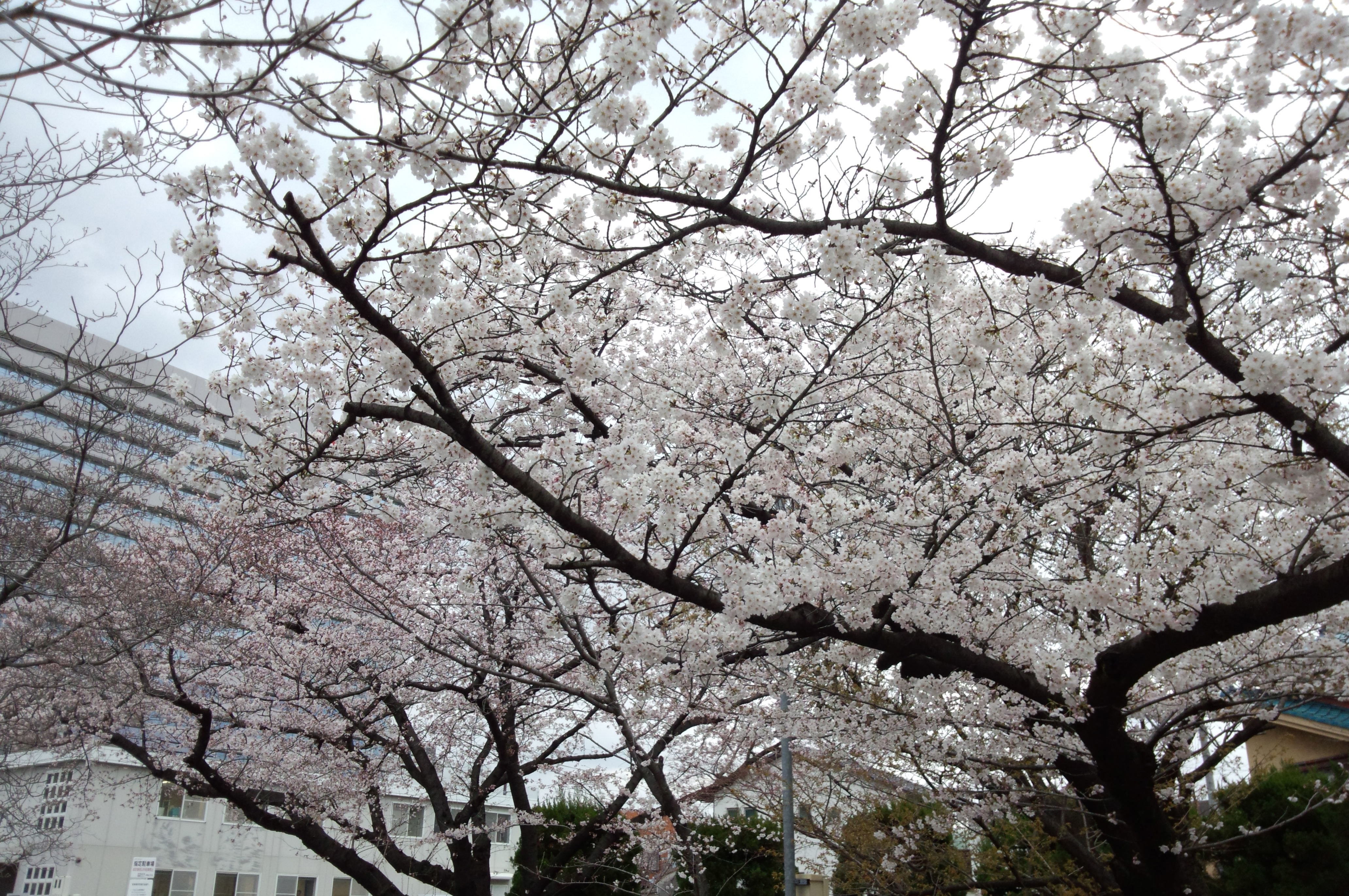 刈谷駅周辺の桜