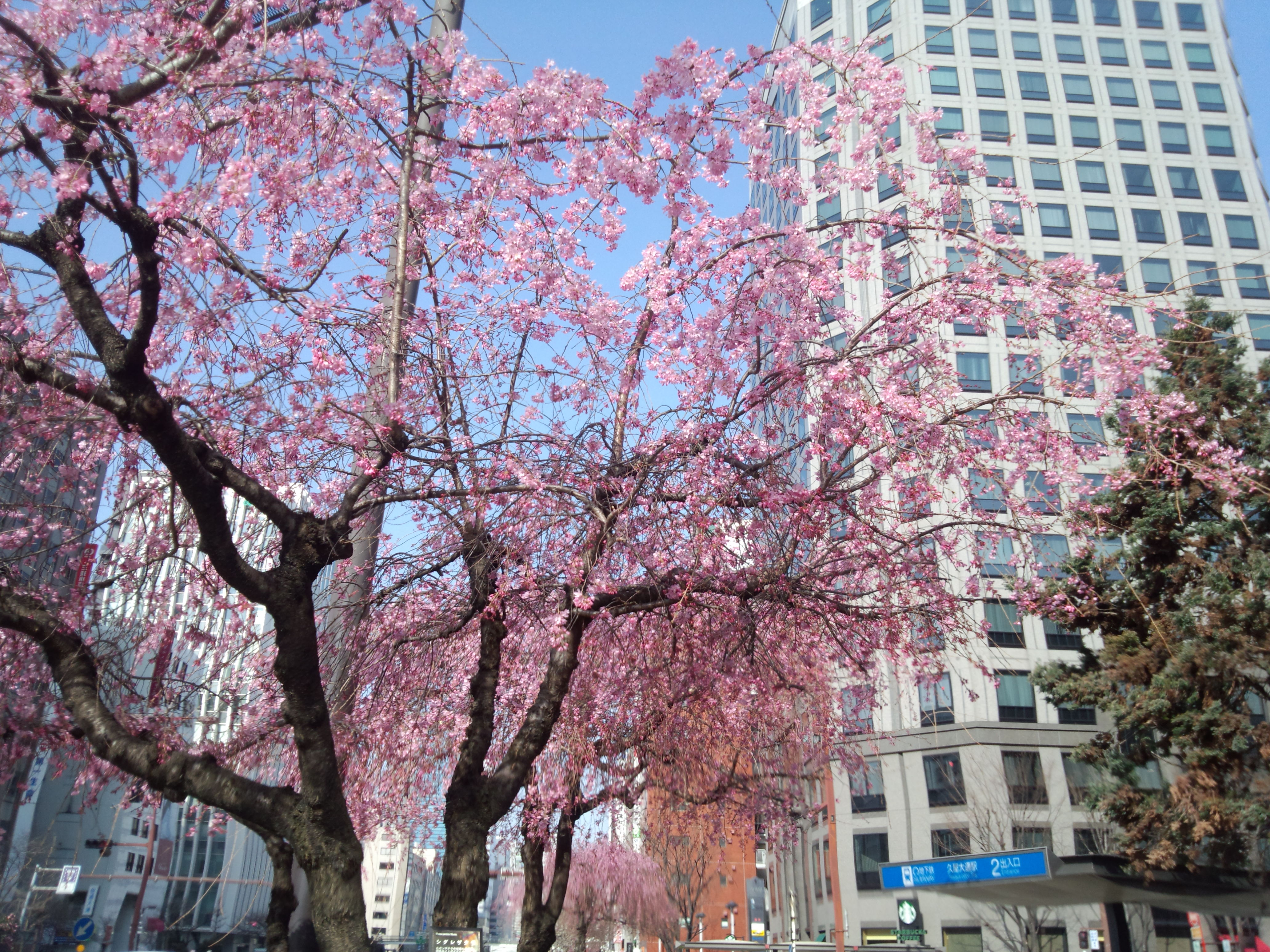 久屋大通駅周辺の桜